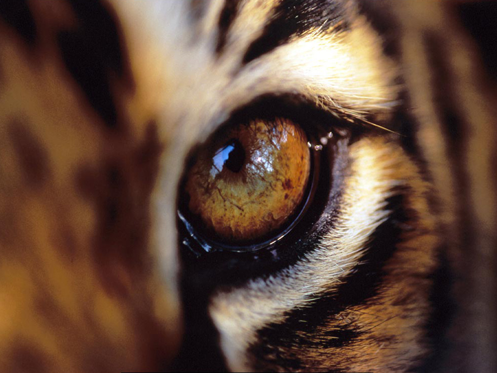 Tygři tapety na plochu máš počítač jedinečný