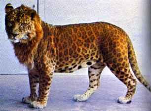 Panthera Hybrid Tigard | RM.